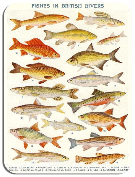 Vintage British River Fish Poster Mouse Mat. Fresh Water Fishing Mouse Pad