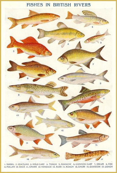 Vintage British River Fish Poster T Shirt 12 Sizes Fresh